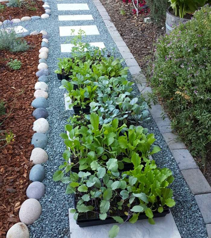 6 large trays full of small green seedlings are sitting outside on a gravel pathway in a garden. They are in the shade, just starting out their hardening off process.