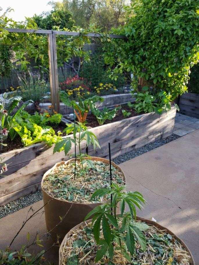 Two large fabric grow bags on a patio garden, with small cannabis plants inside. There are raised beds in the background. There are flowers, colorful swiss chard, and mustard greens.