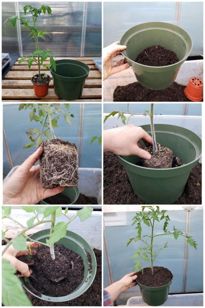 A six part image collage showing the process of potting up a tomato seedling from a 4 inch pot into an 8 inch pot. It shows the seedling in its original pot next to the new 8 inch pot.  Then it shows a small amount of soil being placed in the bottom of the 8 inch pot, next shows the bare rootball of the tomato seedling and how developed it is. The next image shows the tomato seedling sitting in the 8 inch pot, and the final photos show the seedling being planted in the new pot with part of its stem being buried as well.