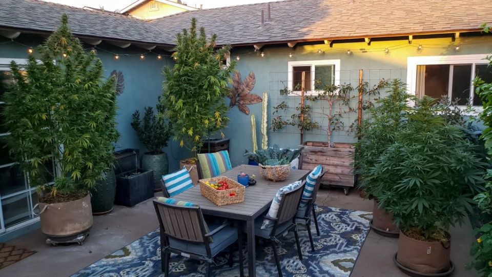 A patio garden area. On the left are two very tall, lanky sativa-dominant plants. On the right are two indica plants, clearly very much shorter, wider, and dark leafy green. In the middle of patio is a table on a colorful rug, with striped pillows, and baskets of homegrown tomatoes and greens on the table. The patio is around a blue house, with a fountain and other plants there too.