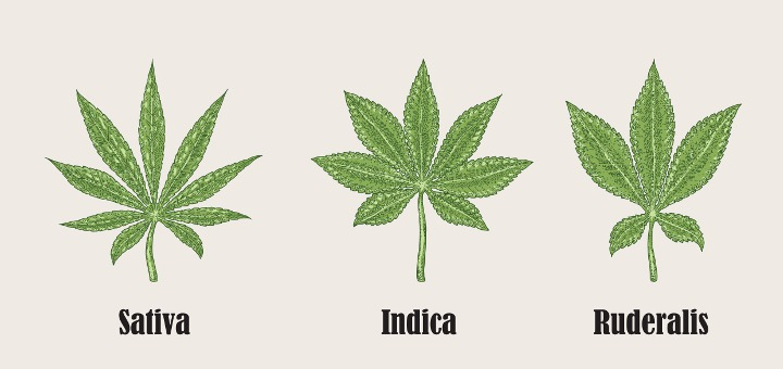 An image of three cannabis leaves. On the left says sativa. The leaf is narrow, pointed, and has 9 segments or fingers of the leaf. The middle leaf says Indica, is wide and fat, and has 7 leaf segments. The right is Ruderalis, with fat leaves like the Indica, but only 5 leaf segments.