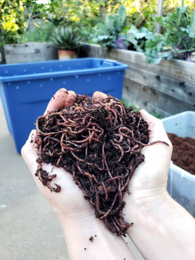 Two hands are cradling an overflowing handful of red wriggler composting worms. In the background sits a blue plastic tub which will soon be a worm compost bin or farm.
