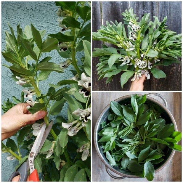Three images of harvesting fava bean leaves. One shows a hand and scissors cutting the top stems of tall stalks, another photo shows a hand holding a boquet of cut fava greens with their black and white flowers, and the third photo shows the leaves removed from the stalk, in a strainer.