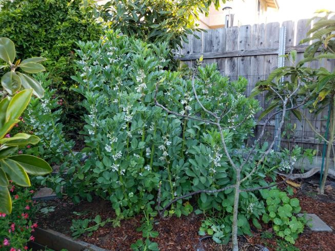 A corner of a yard is shown with a patch of fava beans growing to a height of about four to five feet tall. They are all flowering but no pods are visible yet. There are also various trees planted nearby, an avocado tree is directly behind the favas, a loquat tree is off to the right, and a small fig tree is directly in front of it. There is bark mulch surrounding the area and a wooden fence is the back drop behind the plants and trees. Growing nitrogen fixing crops and green manure crops in and around fruit trees will increase the microbial life in the soil when using no-till gardening.