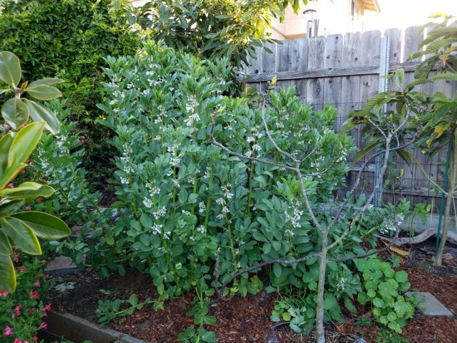 A corner of a yard is shown with a patch of fava beans growing to a height of about four to five feet tall. They are all flowering but no pods are visible yet. There are also various trees planted nearby, an avocado tree is directly behind the favas, a loquat tree is off to the right, and a small fig tree is directly in front of it. There is bark mulch surrounding the area and a wooden fence is the back drop behind the plants and trees.