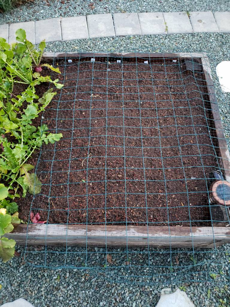 An image of wire fencing laying over a garden bed, not allowing any birds or digging pests to access the freshly planted soil.