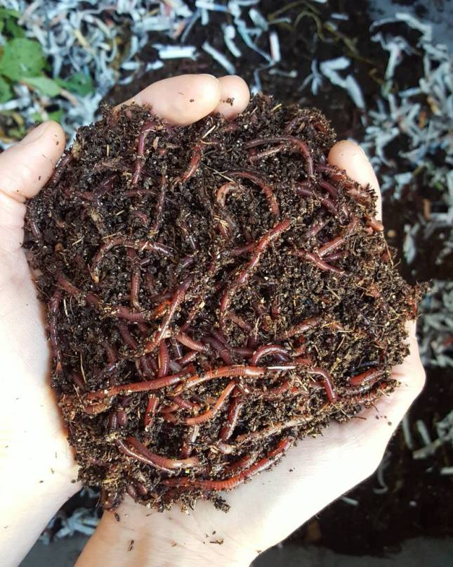 A close up of a two cupped hands, holding red wiggler worms.