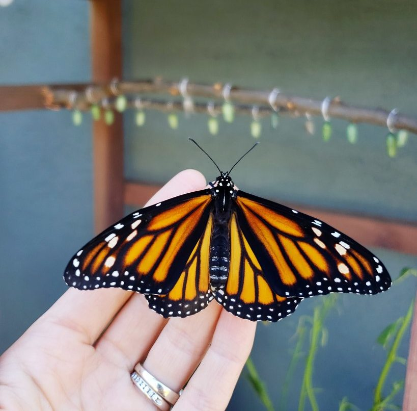 Monarch butterfly banana feeder
