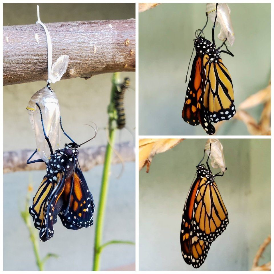 c2f855564eaed Three images of a monarch butterfly that has just emerged from its  chrysalis. It is