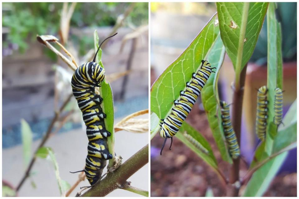 Two close up images of large black, white, and yellow striped monarch caterpillars eating milkweed leaves.