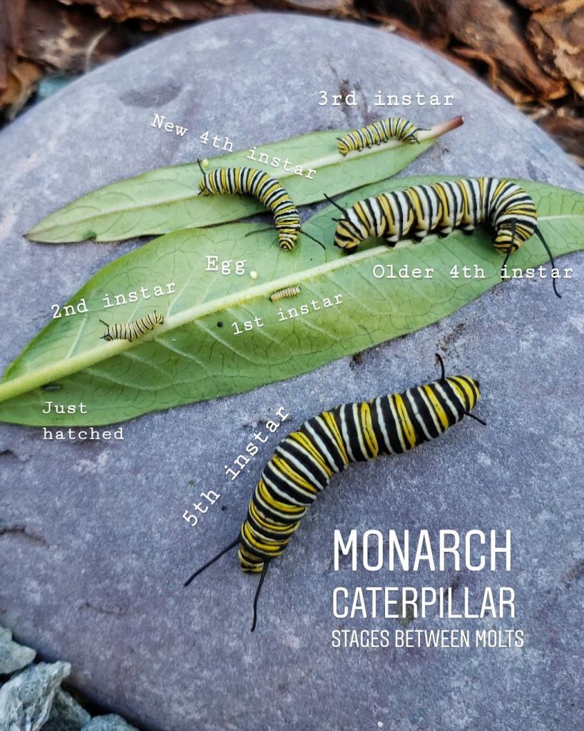 All 5 Instar stages of a monarch caterpillars together, on a purple-colored rock with a few milkweed leaves, plus a teeny egg.