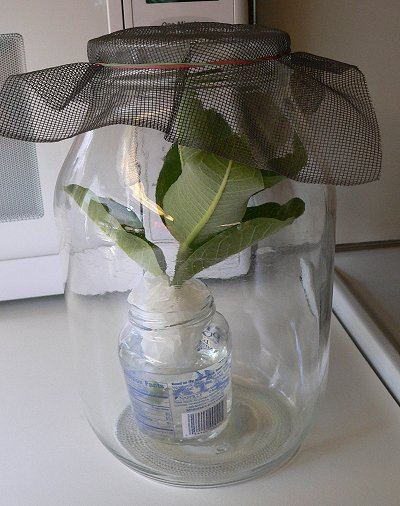An image of a large glass jar, maybe a gallon in size. It has a screen net with rubber band over the top, and a smaller jar with milkweed branch cuttings inside to feed the caterpillars.