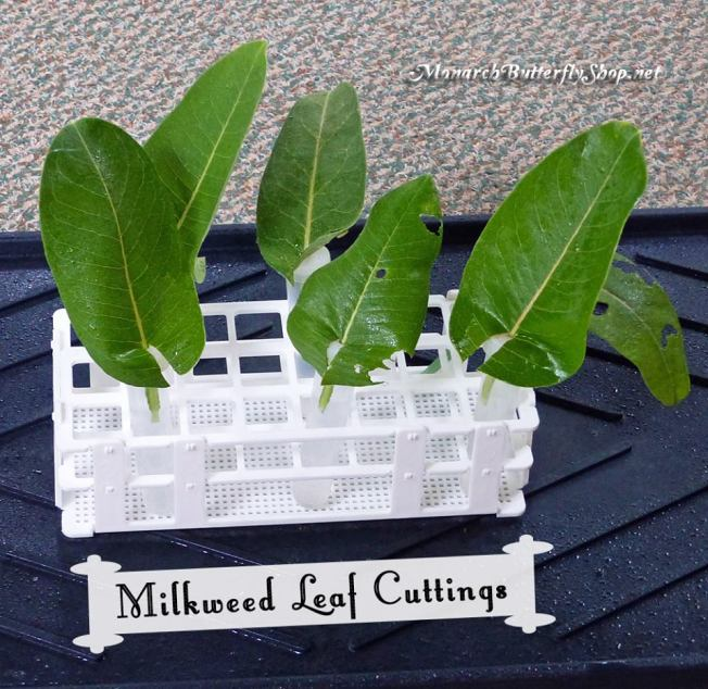 An image of large milkweed leaves stuck inside small 3 inch plastic floral tubes, sitting in a rack that hold them all up.