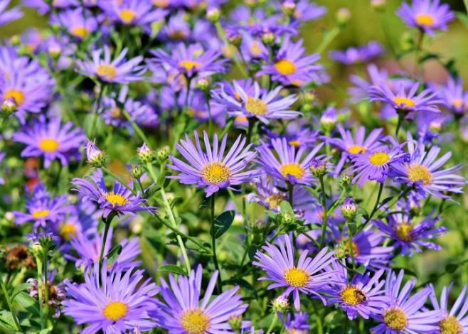 Bright purple daisy like aster flowers in a cluster.