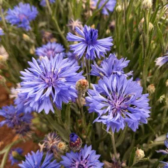Blue purple bachelor button blooms