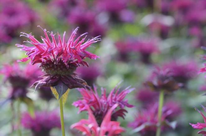 A photo of bee balm, a popular plant for pollinators. It is a round flower bud with interesting spiky individual flowers coming out of it in a circle. They're hot pink.