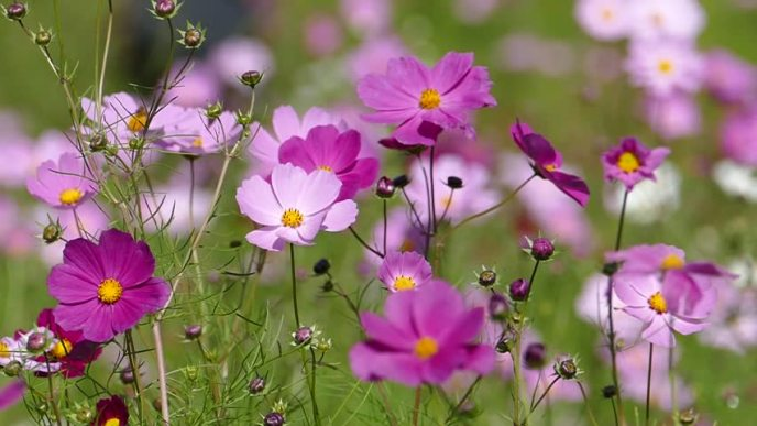 Pink cosmos flower blooms in a field