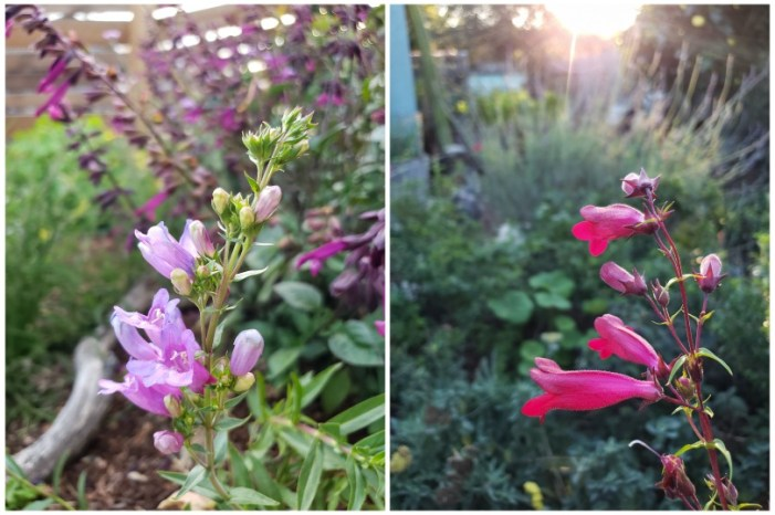 Two photos of light pink and dark pink tube-shaped penstemon flowers,with other colorful flowers and plants for pollinators in the background.