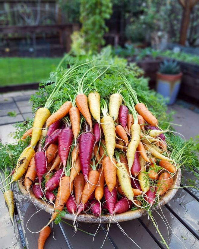 A close up of a large wooden bowl full of yellow, orange, and reddish purple carrots sits on a patio garden table, with raised beds and potted plants in the background.