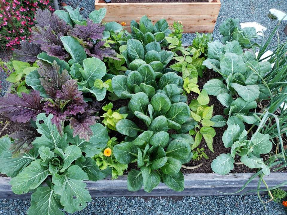 A raised bed full of mixed types of greens, with green bean plants between the rows of greens, and also some onions and flowers mixed in as organic pest prevention through companion planting.