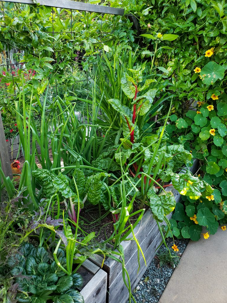 A wood raised garden bed overflowing with plants. In it is a mix of green and red swiss chard, tall onion greens all around and between them, plus a sunflower, mustard greens, nasturtium climbing up the trellis behind it.  This is demonstrating the idea of polyculture as pest prevention.