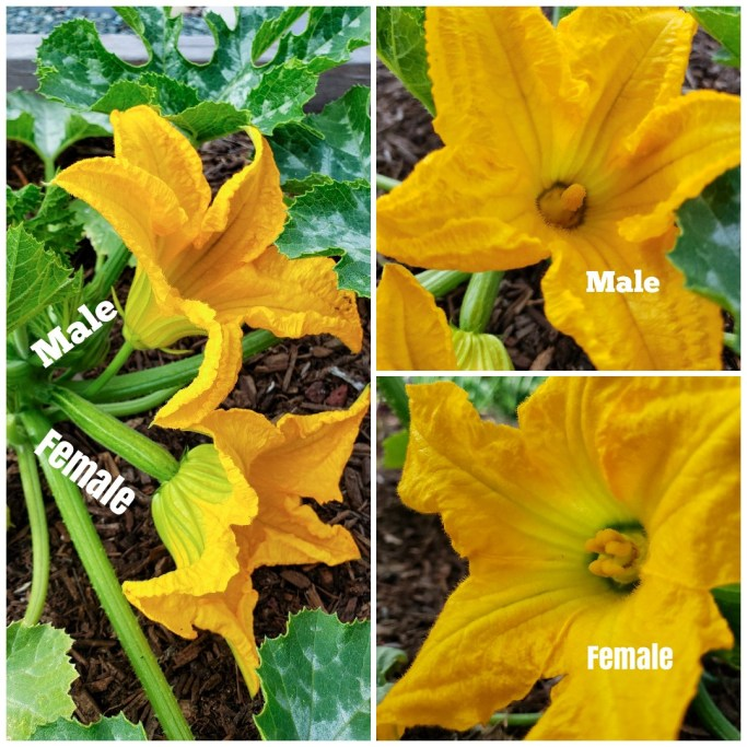 """A three part image showing the difference is male and female squash flowers. It is an important designation to make when one wants to grow zucchini. The first image shows a younger squash plant with a male and female flower next to each other. The words """"male"""" and """"female"""" have been transposed onto the photo. The female squash flower is attached to the backside of a squash fruit, while the male is attached to a stem. The second image shows the inside of a male squash flower. there is a single stamen that is loaded with pollen on the inside. The third image shows the inside of a female squash flower, it has  multi lobed stigma that is used to receive pollen."""