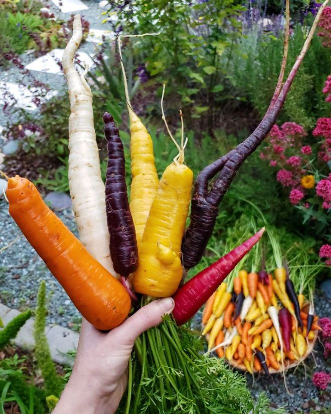 A hand holds a bunch of carrots in front of a colorful garden, blurred in the background. The carrots are white, orange, purple, yellow, and red. There is also a large round wood bowl of rainbow carrots sitting on the ground in the background.