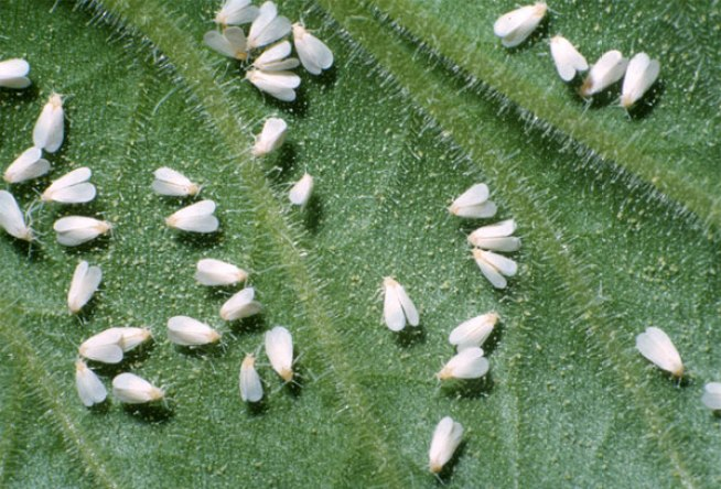 A closeup photo of a leaf with dozens of adult whiteflies on it.