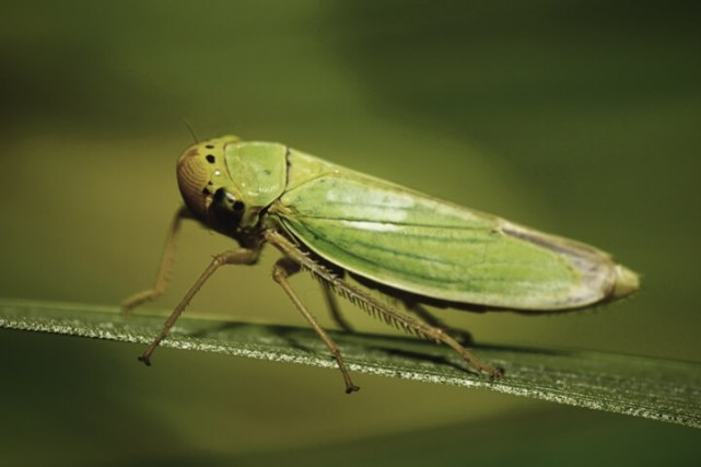 A close up of a green leafhopper resting on a leaf