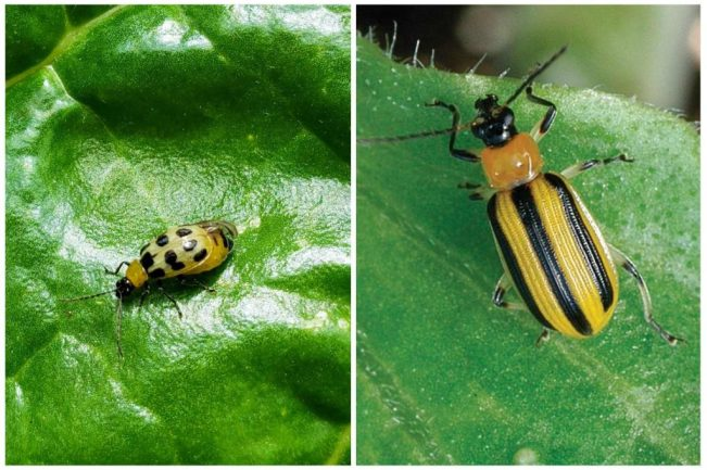 Spotted and striped cucumber beetles. Both of these garden pests have yellow with black markings.