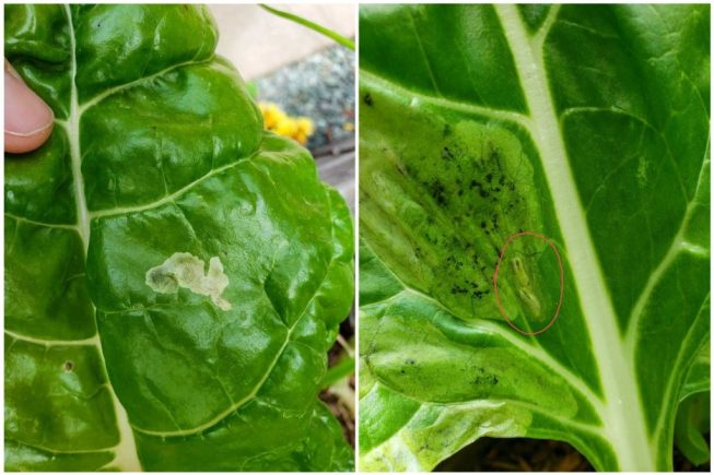 Leaves of swiss chard with tracks and damage from leaf miners