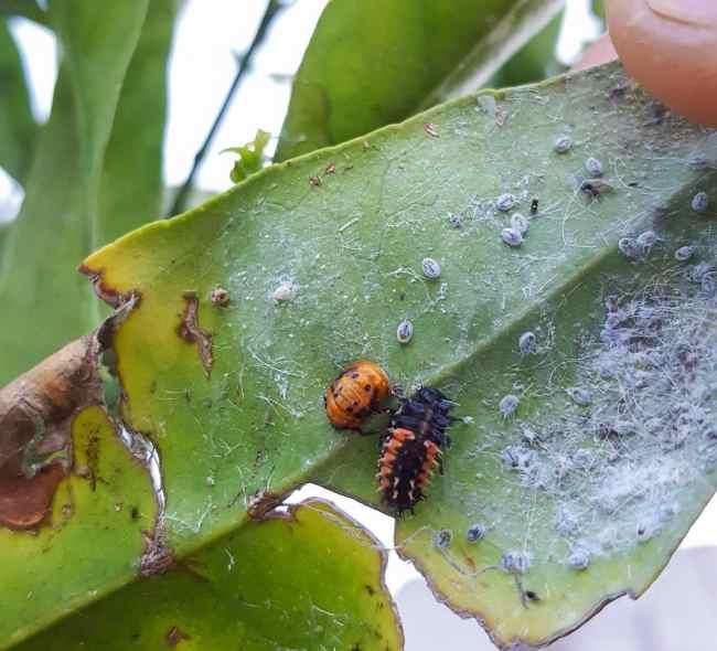 Fuzzy mealybugs on the bottom of a leaf, with a black and orange ladybug larvae eating them.