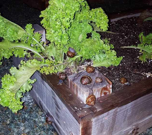 Almost a dozen brown snails on a green leafy plant, the photo taken at night with a flash. These sneaky garden pests can do serious damage overnight!