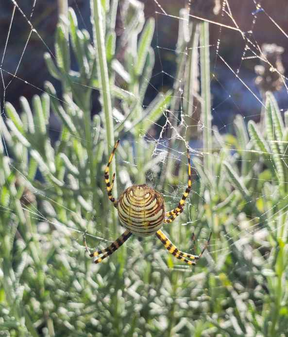 A yellow and brown orb weaver spider in its web. Spiders are beneficial and usually eat other garden pests.