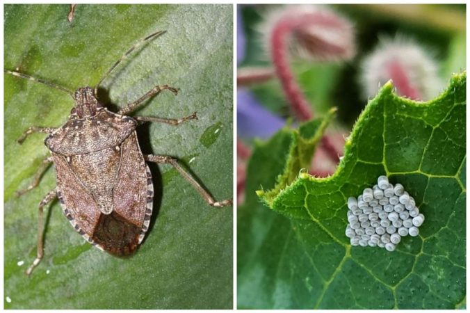 Wide brown beetle-like Stink bug and a close up of it's eggs.