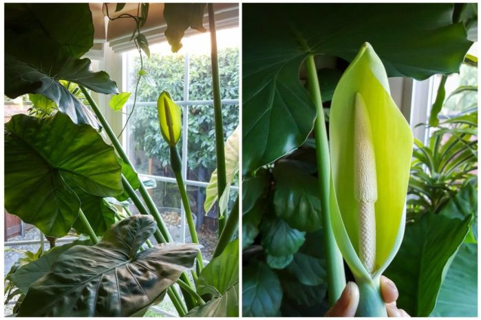 A two part photo collage of a flowering Elephant Ear in a bay window. The leaves are huge, the second photo shows a closeup of the flower.