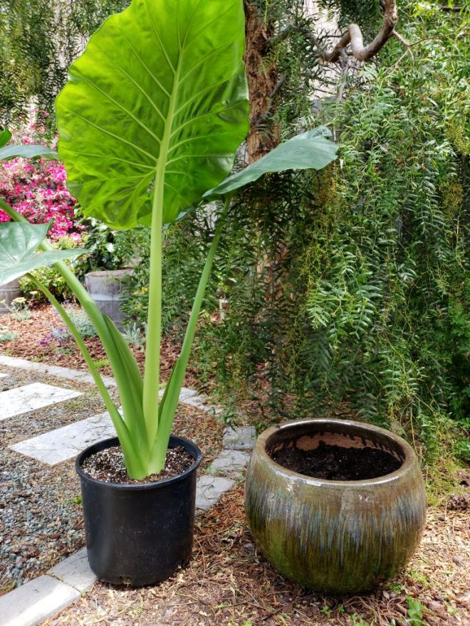 An outdoor photo showing an Elephant Ear (alocasia) in a nursery pot sitting next to a large ceramic pot that is empty. The empty pot will soon be planted out with the Elephant Ear plant.