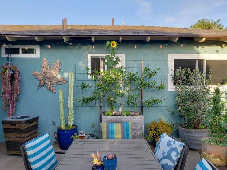 The backyard patio with the side of a house which is sea green/blue in color set as the backdrop. There is a Fuji apple tree that is the center forefront of the photo in a raised wooden planter container, the tree is in an espalier shape with three limbs extending out in even dimensions on both sides of the main trunk. There are also various potted plants throughout the patio, from jades to cacti to a pineapple guava (feijoa) that is planted in a half wine barrel. There is also a patio table extending towards the fuji tree from the bottom center of the photo. A raised gas fireplace sits in the left corner.