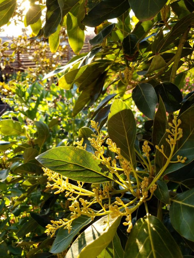 A close up photo of the blooms from an avocado tree, the sun is filtering in from the background, casting various sun splashes on the leaves of the tree. While also illuminating the flowers of the avocado tree in the process. Even though the photo was such a close up shot, you can see a wooden horizontal fence in the distance which is also lit up by the golden suns rays.