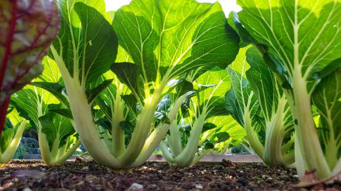 An image taken at the soil level of a garden bed, the view shows the understory of a plot of joi Choi bok choy. The sun is shining above the plants illuminating the top leafy greens which stand out in contrast to their shaded white stalks.