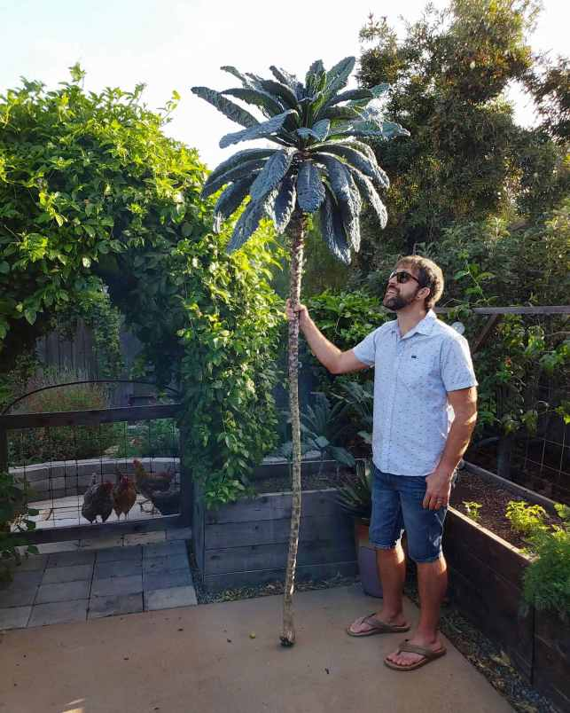 A man standing in the corner of a backyard patio that is lined with wooden raised garden beds. He is wearing blue denim shorts and a button up t shirt, he has holding a kale tree that is over 9 feet tall as a wizard would a staff. He is looking up at the top of the tree which still has numerous kale leaves still attached to it, but the majority of the kale stem is bare with notches where possibly hundreds of leaves have been harvested using cut and come again. There is an vine covered arch to the left of the image and there are chickens assembled below the arch on the outside of the patio, they are being kept out by a above waist high gate that is under the arch as well.