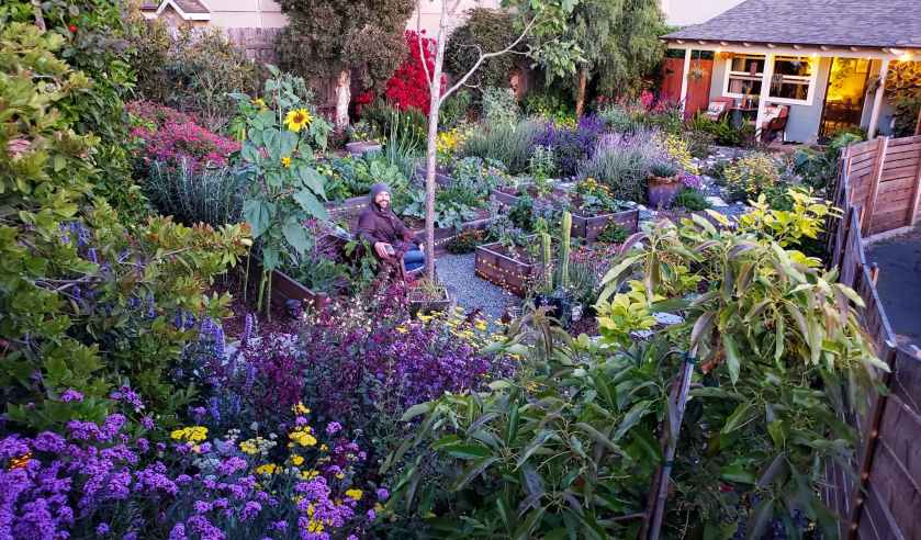 A photo of front yard garden in teh evening hours. A small blue house is in the background. The yard is full of purple, yellow, and pink flowers, including yarrow, sunflowers, zinnia, salvia, scabiosa, verbena, nasturtium, lavender and more! A man sits on a bench in the middle of the yard, with a few wooden raised garden beds in the garden too. There is no grass, only flower beds surrounded by gravel and stone pathways, and twinkle lights around the beds and house, lit up in the evening hours.