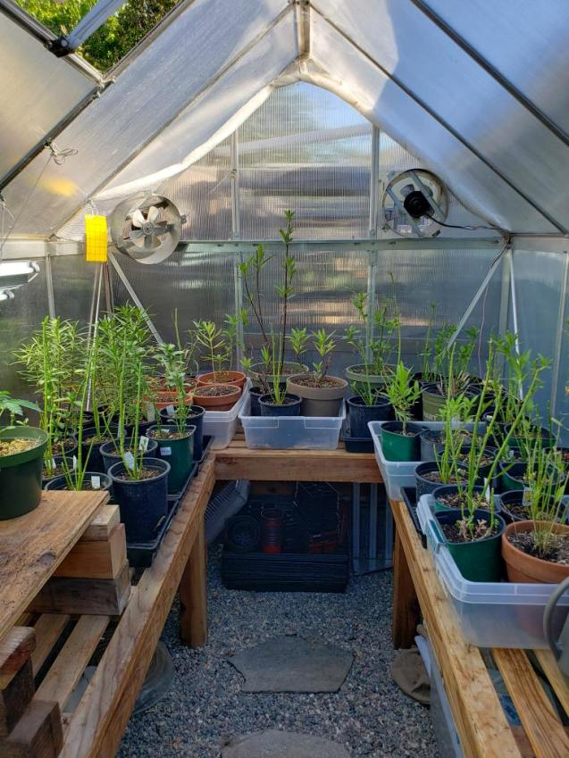An image of the inside of a small greenhouse which is lined with wooden tables on three sides. There are storage containers of various sizes on the tables with many potted plants sitting inside of the storage containers. There are two fans at the end of the greenhouse one blowing directly inside of the greenhouse and the other is set up as an exhaust fan blowing out. There is also a yellow sticky trap hanging just to the left of the fan on the left side of the image, used as physical organic pest control to trap flying insects in the greenhouse.