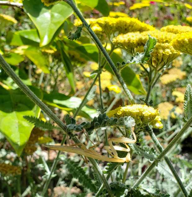 A close up image of a yarrow plant that is silvery green in color with slight feather like leaves, it also has yellow flowers which bunch together like clouds in the upside down shape of an anvil. The middle bottom third of the image shows a praying mantis grasping on the the plant, hanging upside down. The praying mantis is lighter in color, closer to a yellow beige  than green.