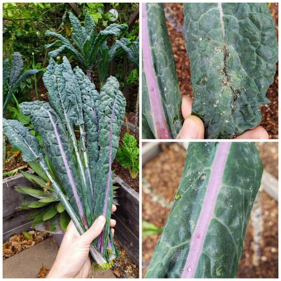 A three way image collage, the first shows a hand holding a bouquet of kale leaves that have powdery mildew and aphids. There are wood raised garden beds in the background and the spikes from an agave plant are protruding out from behind the kale from a ceramic pot below. The second image shows a close up of the affected kale leaf that has a small colony of aphids on it. The third image shows a close up photo of a kale leaf that has powdery mildew, its white, spider web like growth is a tell tale signs of the powdery mildew.