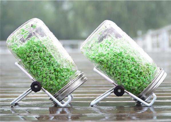 A close up image of two quart size mason jars upside down and diagonal. They are being held in this manner by a small wire rack of sorts which purpose is for holding sprouting jars in this manner. Inside the jars and green split peas or lentils that are beginning to sprout. They sit atop a wooden deck of sorts and the deck and jars are wet, as if it had been raining.
