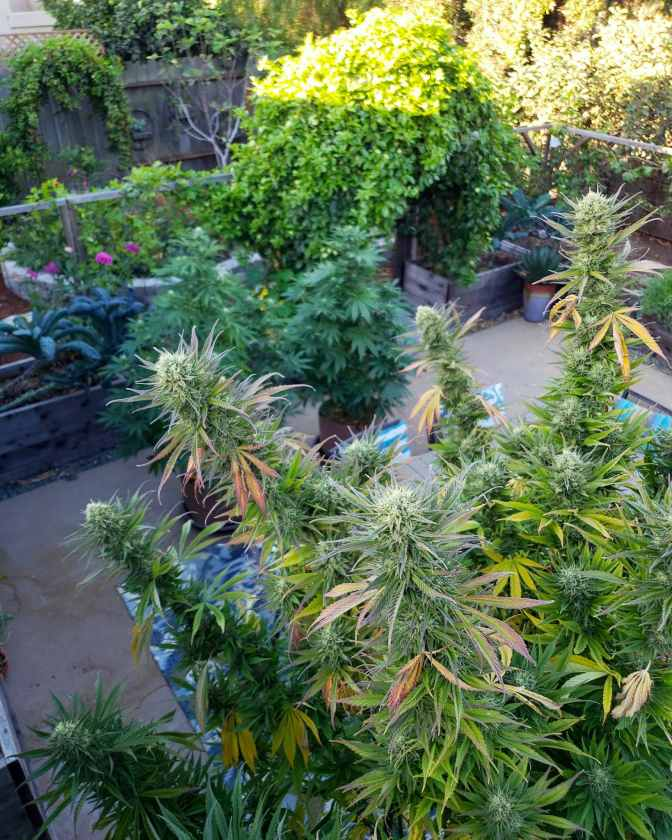 How to Harvest, Dry, Trim, Cure, & Store Homegrown Cannabis