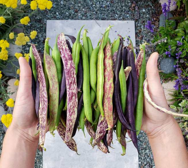 Two hands are holding a bunch of bush beans, they range in color from green to purple white to purple green to just plain purple. The background contains salvia and yarrow, growing along a gravel and stone paver walkway.
