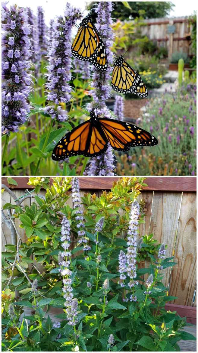 A green bushy anise hyssop plant with tall skinny light purple blooms. On the purple flower spikes are three orange, black and white monarch butterflies. Anise hyssop is a wonderful plant for pollinators, but also medicinal for people too.