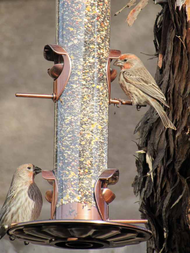 Two finches with red rouge on their chest and face are sitting on a copper plated glass bird feeder. There are two lower perches and two higher perches for birds to use. One is on the lower left while the other is on the upper right perch. The feeder is full of bird seed and you can see the side of a tree trunk from which it is hanging from.